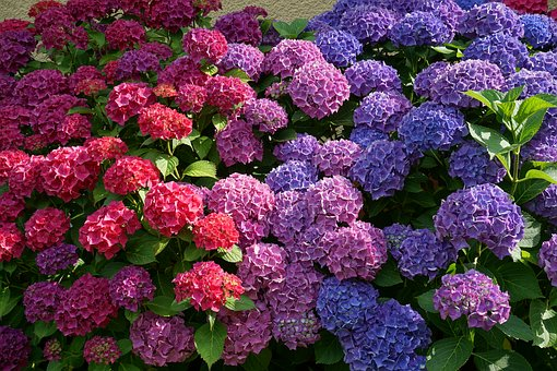 Flowers, Hydrangeas, Sun, Summer, Nature
