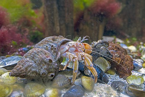 Hermit Crab, North Sea, Wildlife