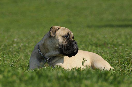 Bullmastiff, Dog, Grass, Bullmastiff
