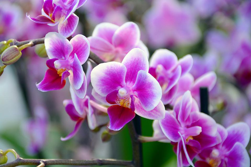 free photo orchid, flower, blossom, bloom  free image on pixabay, Natural flower