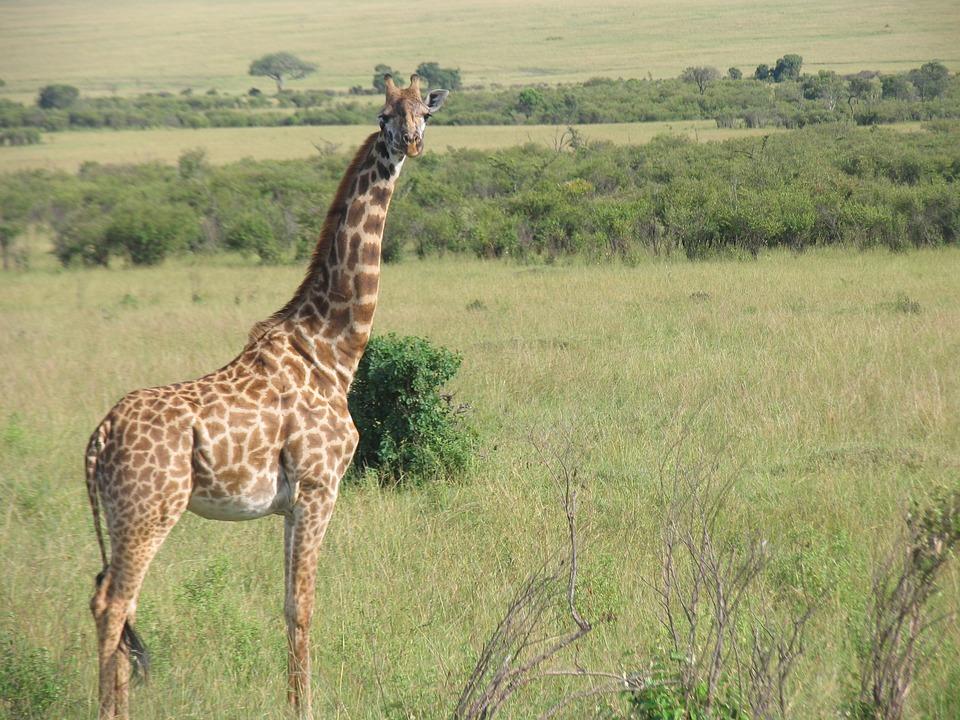 Kenya, Giraffe, Maasai-Mara
