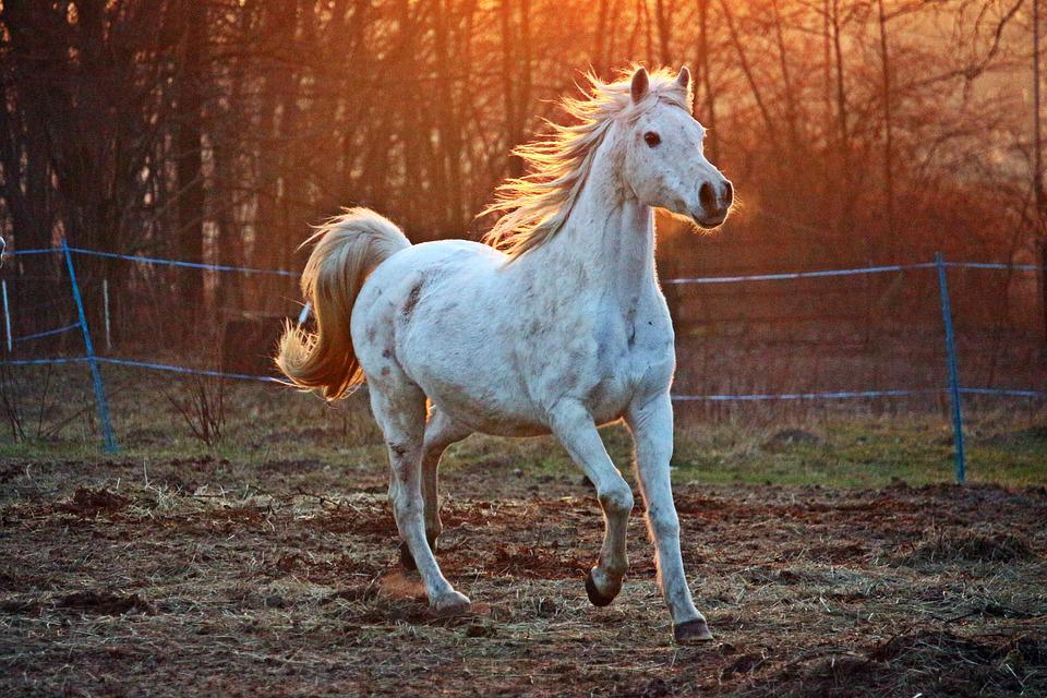 Horse, Mold, Thoroughbred Arabian, Pasture