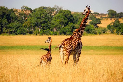 Giraffe Animals Wildlife Africa Baby Mothe