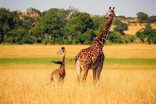 Giraffe Animals Wildlife Africa Baby Mothe