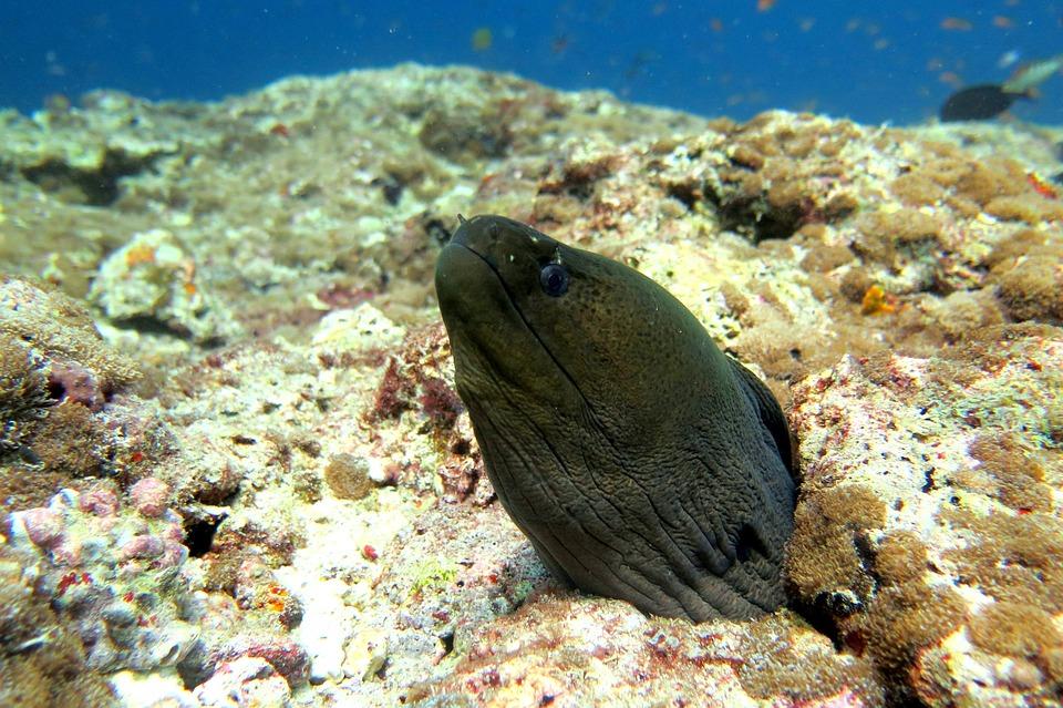 海鳗, 鳗鱼, 鱼, 海洋, 水下, 水, 巨人