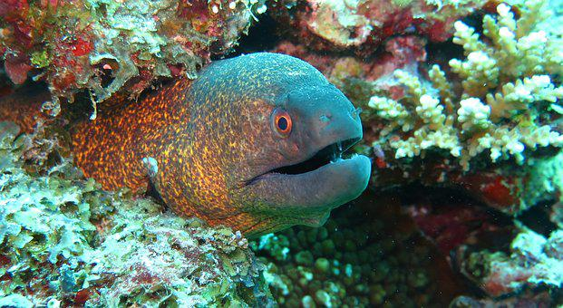 Moray Eel Fish Sea Ocean Marine Reef Aquat