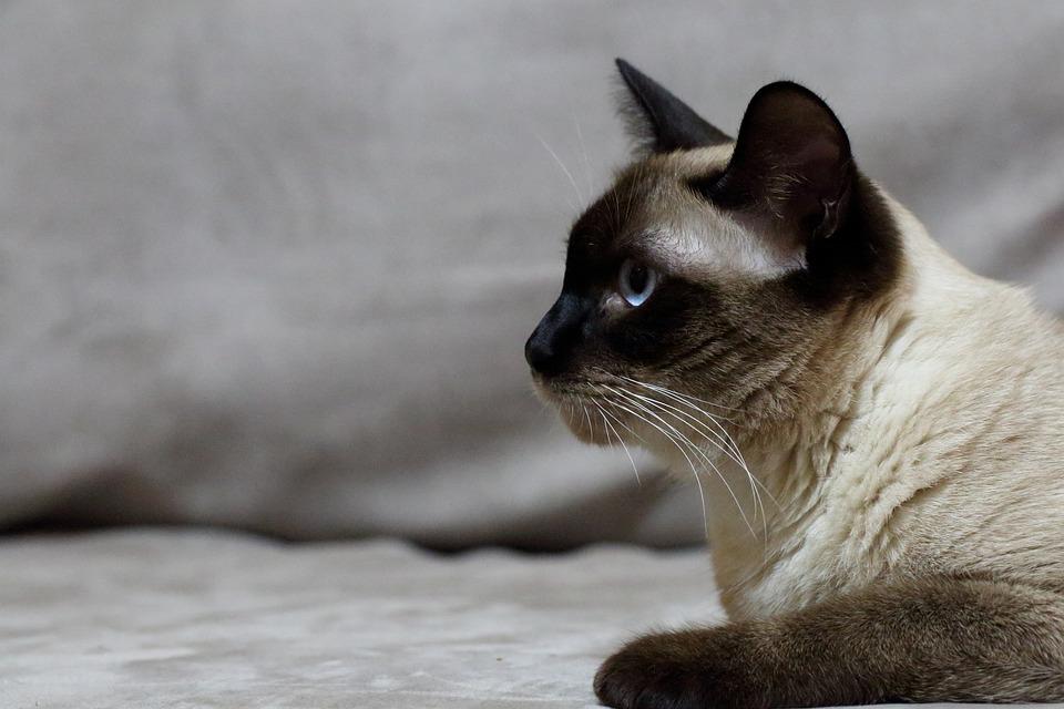 Gato, Mascotas, Siam, Elfo, Pascua
