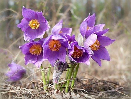 Phlomis, Fleur Pourpre, Été, Nature