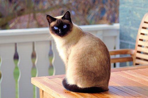 Gato, Gato Siamês, Peles, Gatinho