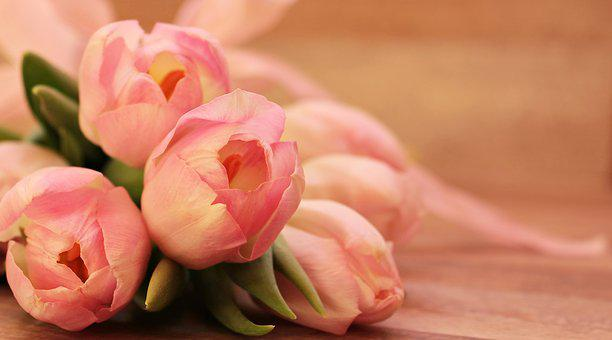 close-up photo of pink tulips