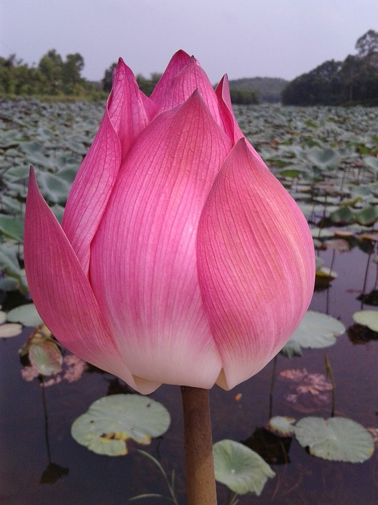 free photo flower, lotus flowers, nice, lotus  free image on, Natural flower