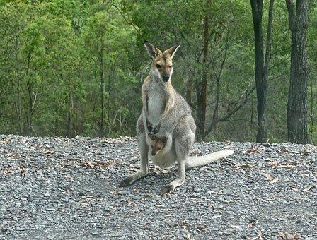 Kangaroo, Wallaby, Joey, Australia