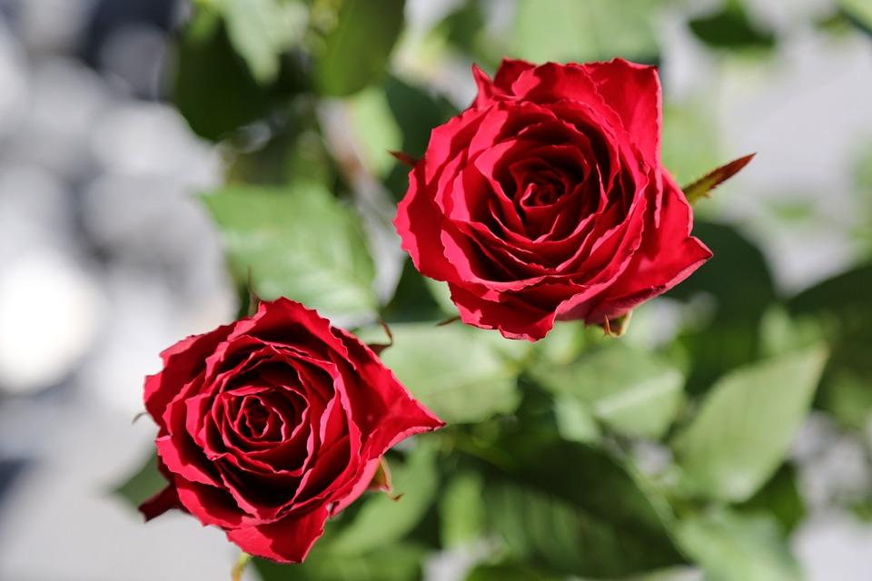 Flores Rosas Rojas Foto Gratis En Pixabay