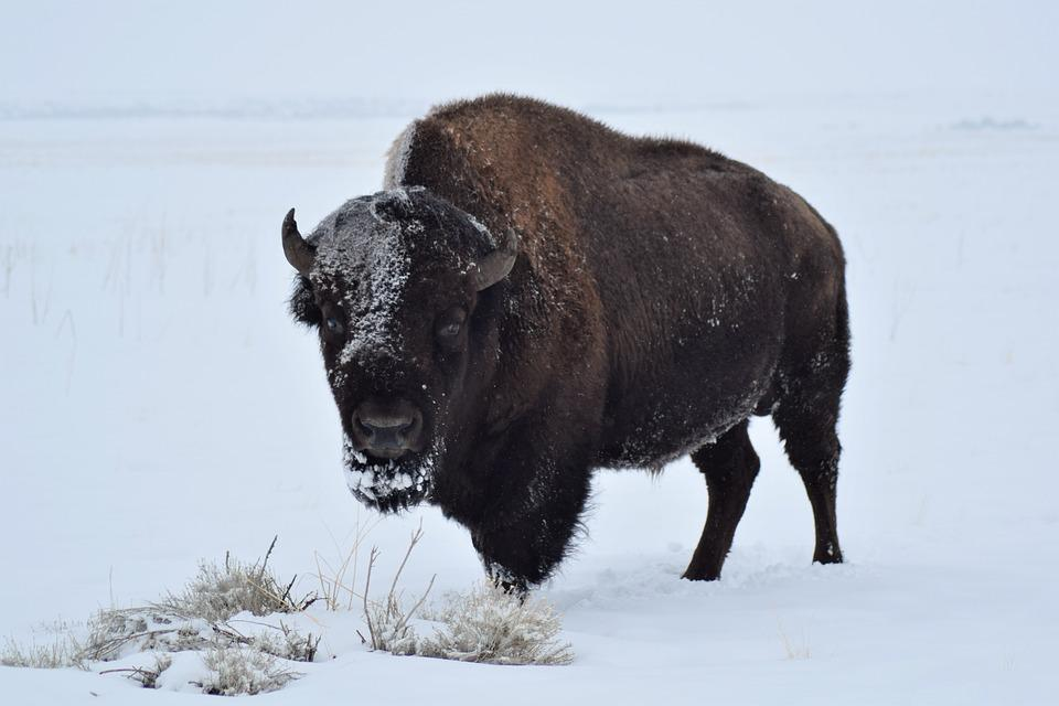 Buffalo Pictures 84