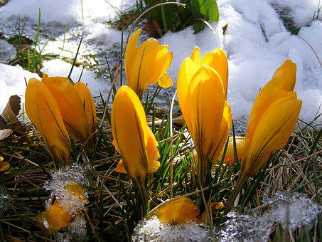 Минзухар, Цвете, Жълт, Пролетта, Цветове