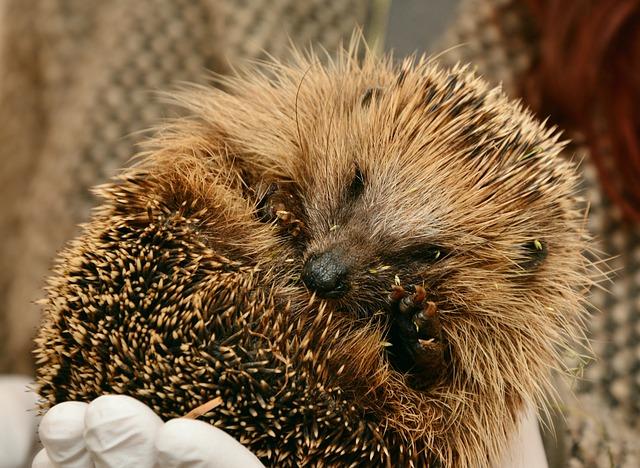hedgehog hedgehogs hibernate  u00b7 free photo on pixabay