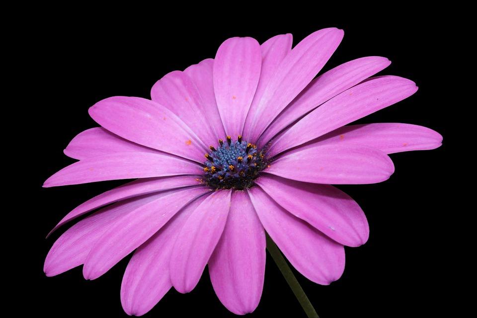 Fiore Rosa Margarite Sfondo Immagini Gratis Su Pixabay
