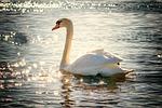 swan, water, bird