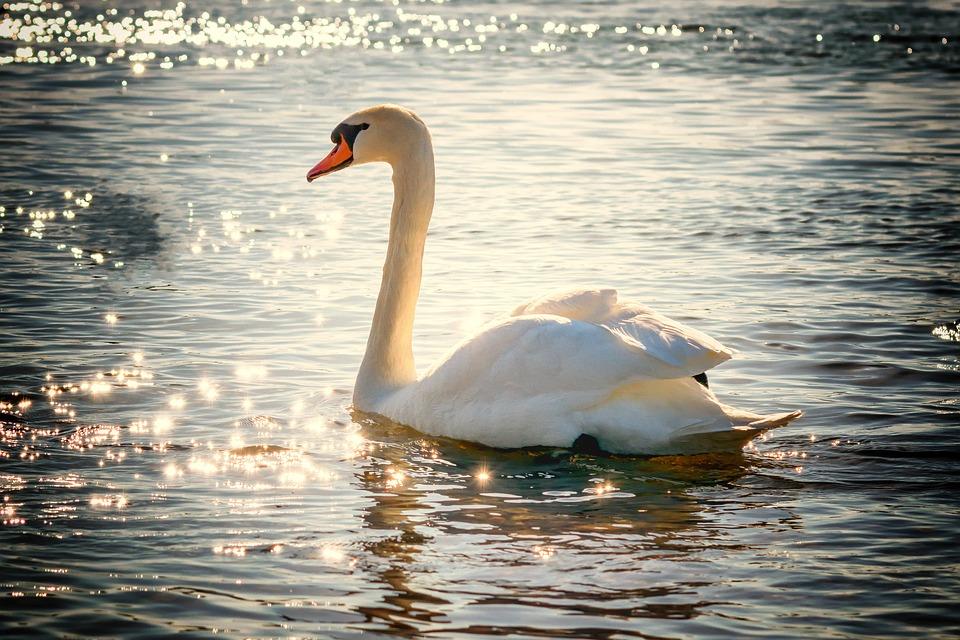 Cisne, Água, Bird, Lago, Branco, Pena, Natureza