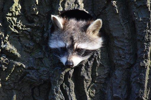 Raccoon, Construction, Animal World