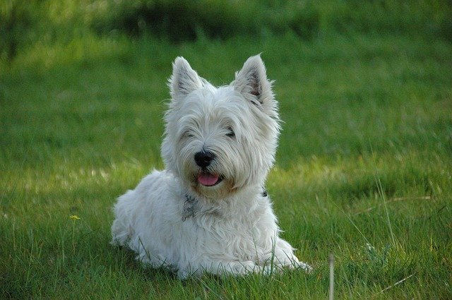 Dog West Highland Terrier 183 Free Photo On Pixabay