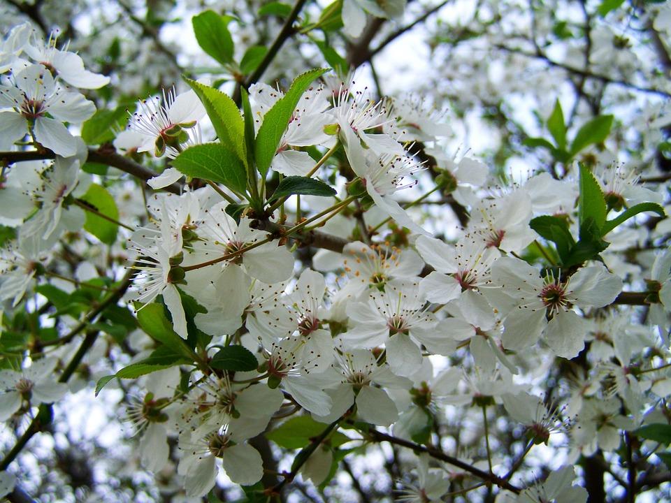 Frühling Blühende Obstbäume Weiße · Kostenloses Foto auf Pixabay