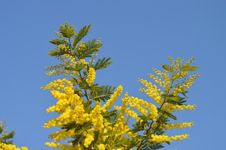 Mimosa flowers yellow free photo on pixabay mimosa flowers yellow yellow flower france garden mightylinksfo