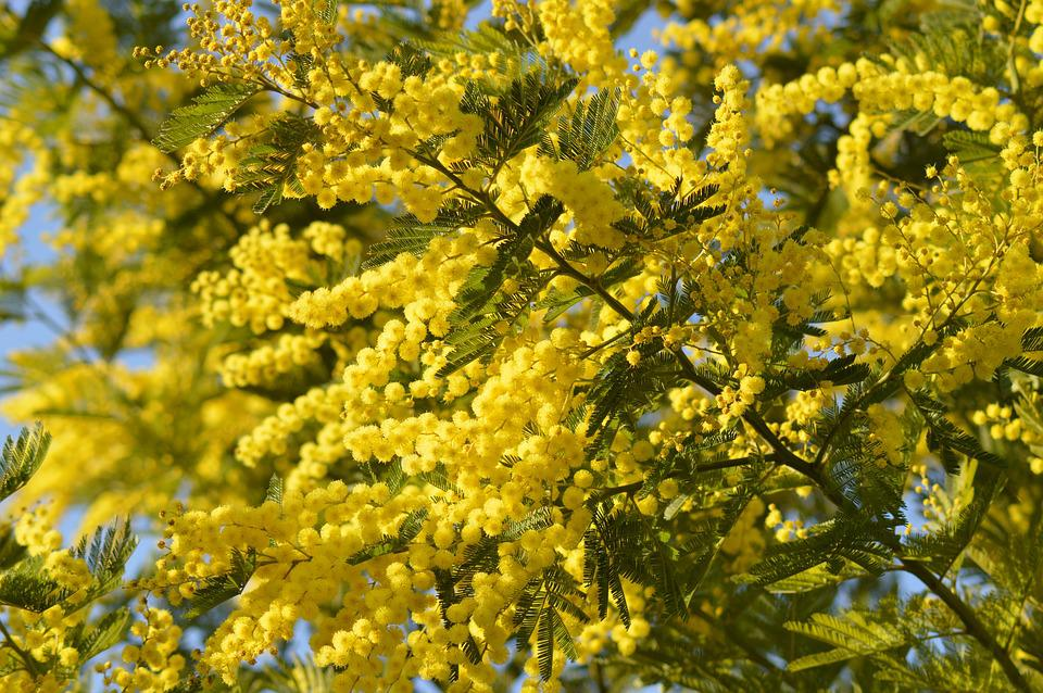 Mimosa Flower Yellow Free Photo On Pixabay