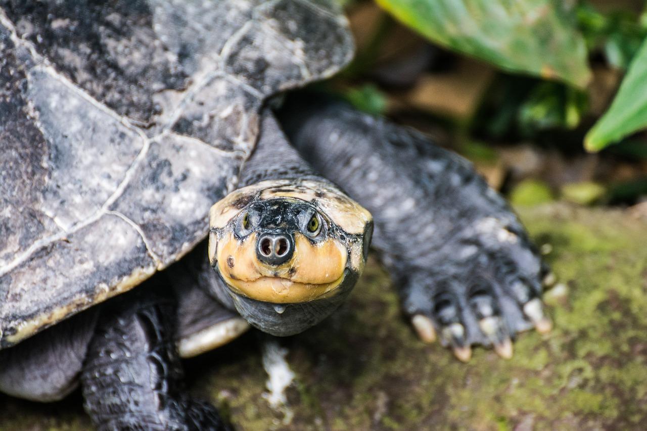 водная черепаха картинки менее, файлы