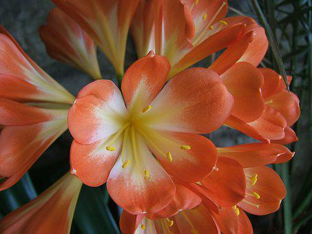 Clivia, Vegetation, Nature, Flowers