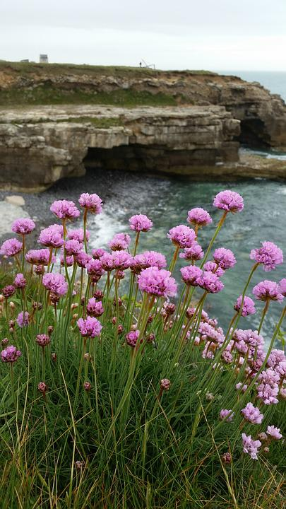 Sea pinks clifftop free photo on pixabay sea pinks clifftop sea rocks flower seaside mightylinksfo