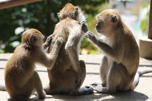 Affen, 3, Juckreiz, Braun, 3 Stück