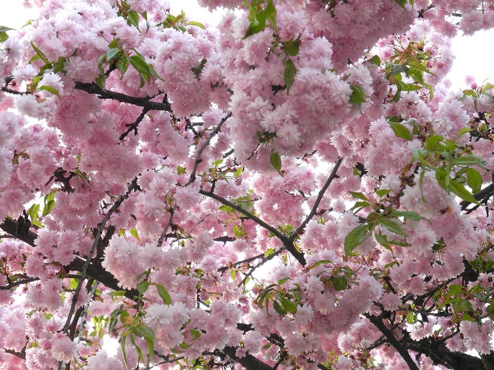 Sakura april spring free photo on pixabay sakura april spring pink flowers branch nature mightylinksfo