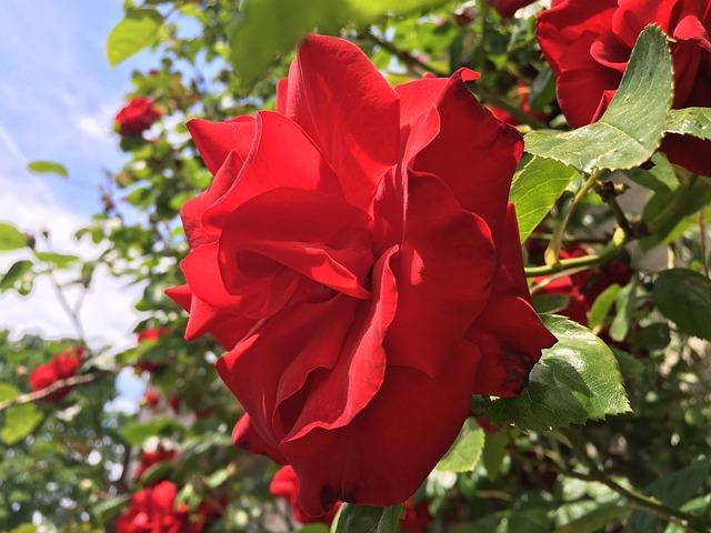 Сантана цветок