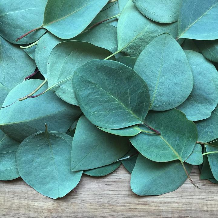 Eucalyptus, Blad, Plantaardige, Bloemen, Natuur