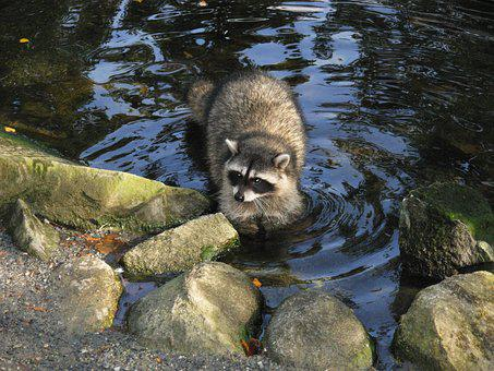 Raccoon, Nature, Animal, Cute, Wildlife