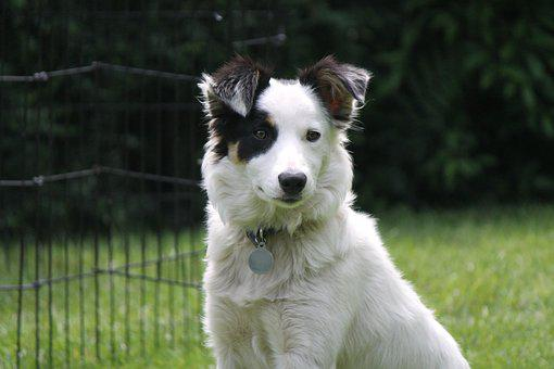 Hond, Herdershond, Collie, Border Collie