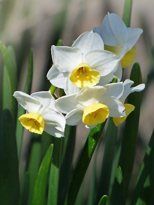 Jonquilles, Fleurs, Printemps, Pancratium Maritimum