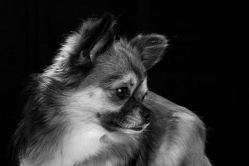 Chihuahua, Dog, Small, Cute, Pets