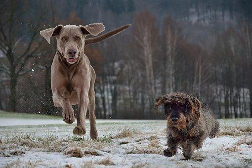 Weimaraner, Dachshund, Dogs