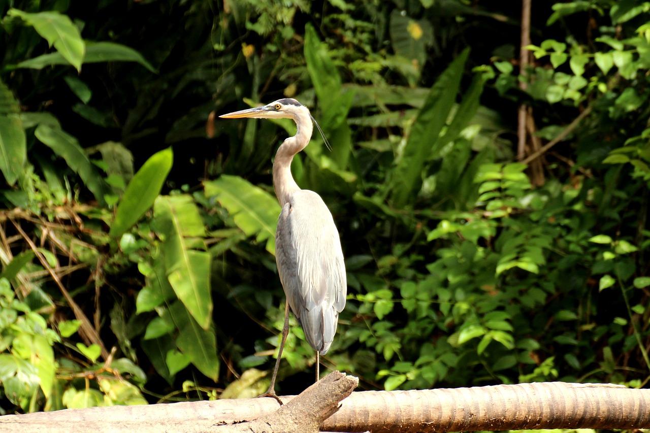 Heron Canada Tortuguero - Free photo on Pixabay