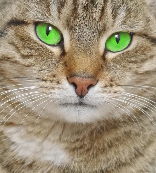 katt gröna ögon