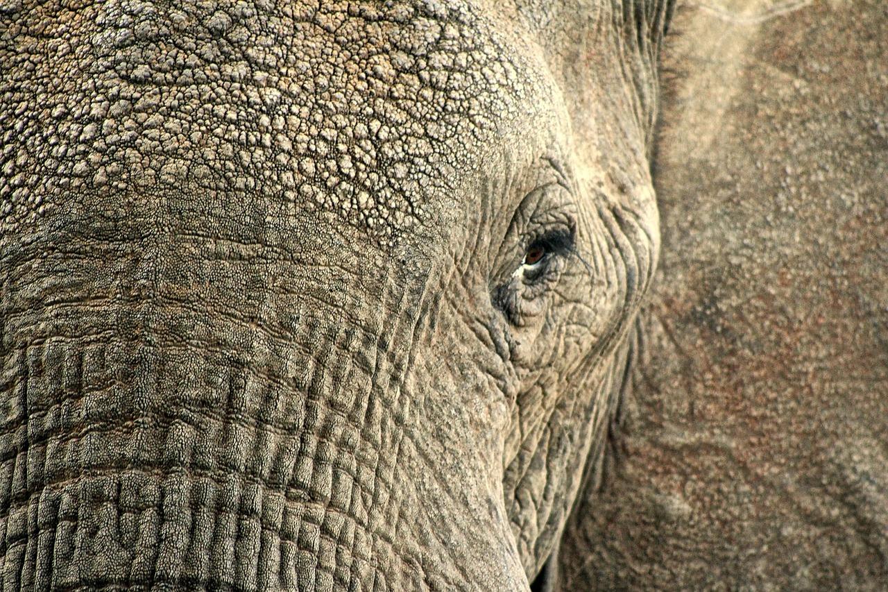 象,动物,隐藏,皮肤,野生动物,特写,非洲,野生动物园,人类发展报告