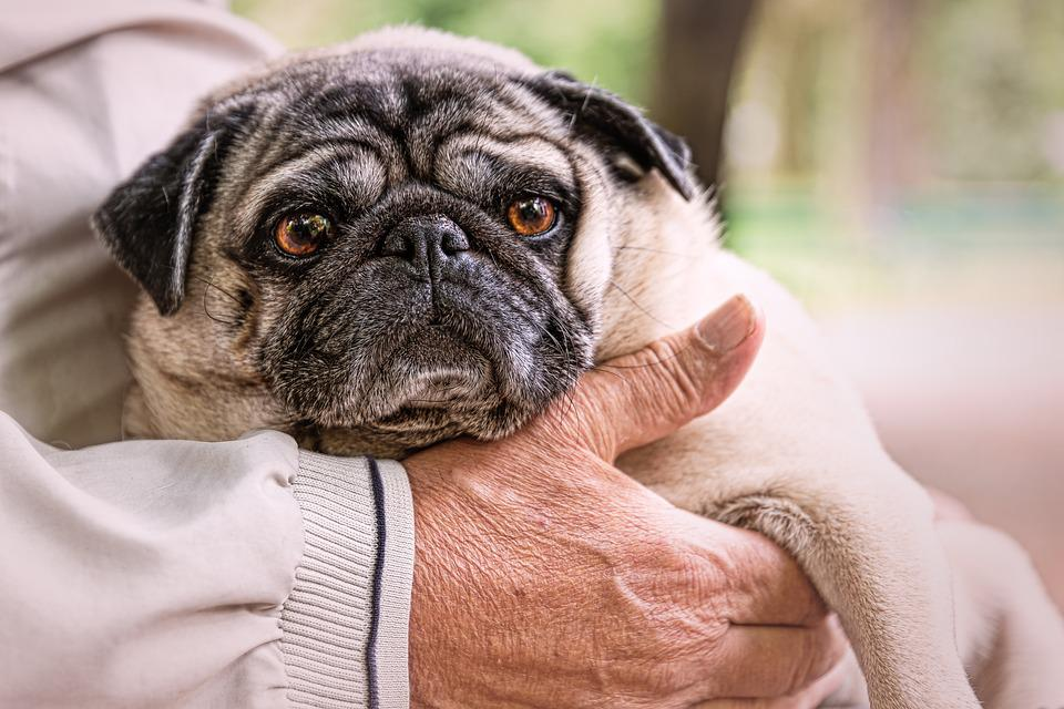 pug dog images pixabay download free pictures