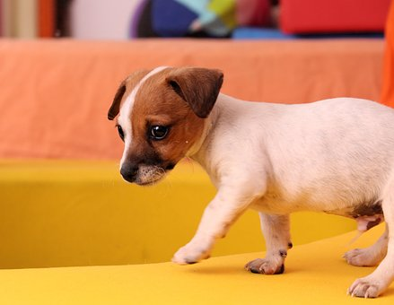 Dog, Puppy, Jack Russell, Chihuahua