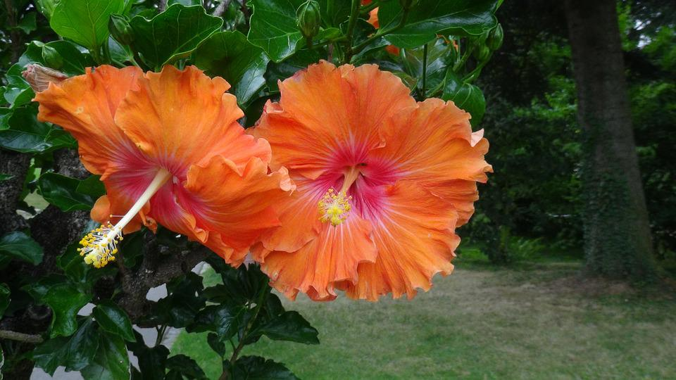 Flowers Hibiscus Yellow Orange 183 Free Photo On Pixabay