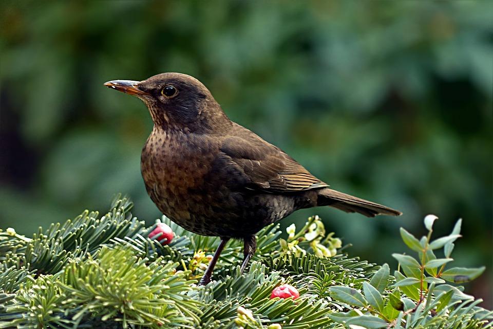 Vogel Drossel