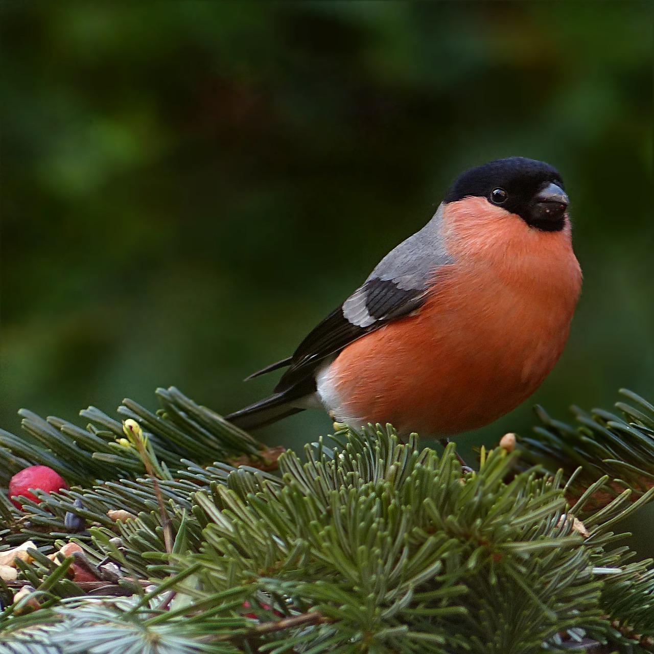 фото птички снегиря секрет