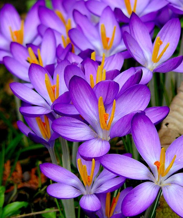 Crocus flowers spring free image on pixabay crocus flowers spring spring flower mightylinksfo