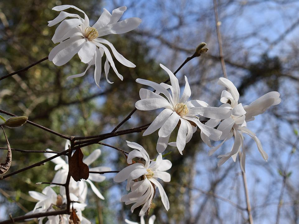Star Magnolia Tree Free Photo On Pixabay